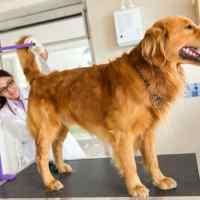 Köpeklerde Anal Kese Sağlığı (Sinusutus Paranalis)