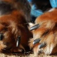 Köpeklerde Ayak ve Tırnak Bakımı