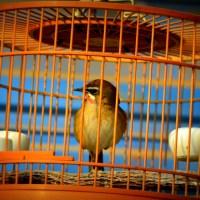 Kafes kuşlarında yaşlılık