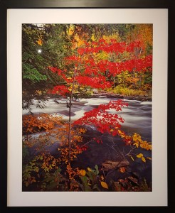Ron Smid, The Red Maple, Analogue Cibachrome Photographic Print