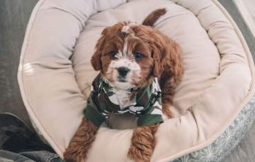 10-best-dog-breeds-apartment-selection-tips