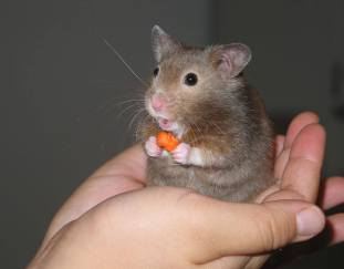 can-hamsters-eat-carrots