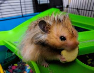 can-hamsters-eat-peanut-butter