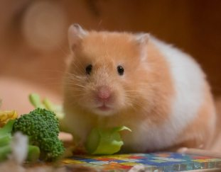 can-hamsters-eat-spinach
