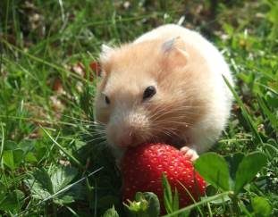 can-hamsters-eat-strawberries