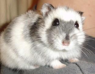 do-hamsters-need-baths