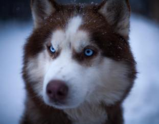 what-dogs-breeds-have-blue-eyes