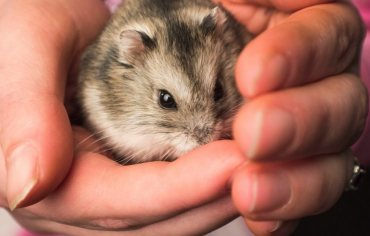 where-to-buy-hamsters