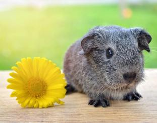are-guinea-pigs-friendly