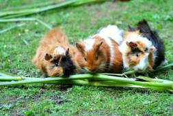 are-guinea-pigs-social