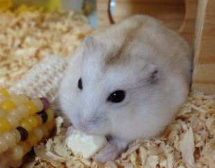 are-hamsters-friendly