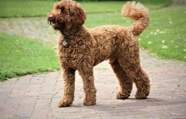 do-dog-tails-have-bones