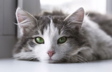 8-signs-your-cat-is-in-heat