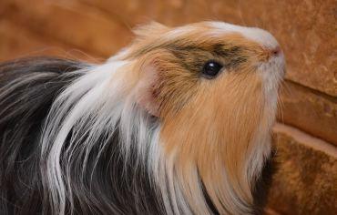 are-guinea-pigs-mammals