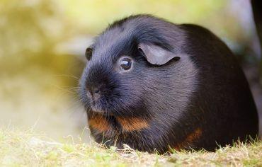 can-guinea-pigs-eat-squash
