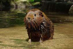 can-guinea-pigs-swim