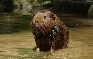 can-guinea-pigs-swim