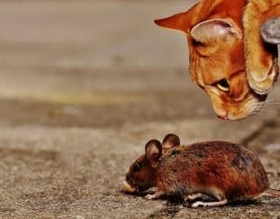 do-cats-eat-rats