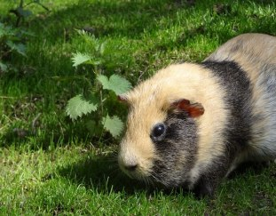 do-guinea-pigs-need-hay