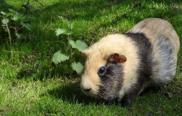 do-guinea-pigs-need-hay