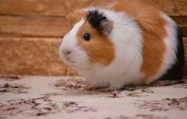 do-guinea-pigs-need-shots