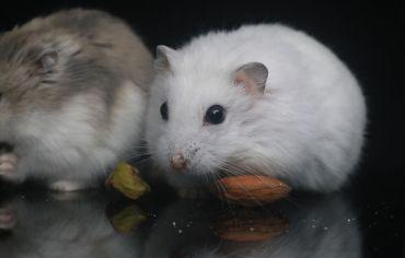do-hamsters-have-bones