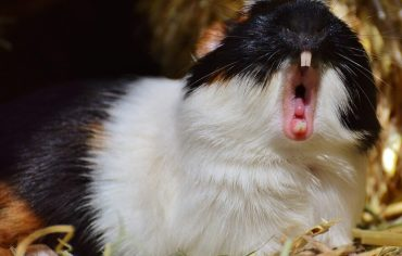 10-tips-to-get-your-guinea-pig-to-stop-biting-you