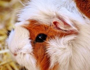 can-guinea-pigs-eat-bananas