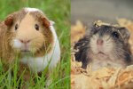 Hamster vs Guinea Pig: Which Pet Is The Best For Me?