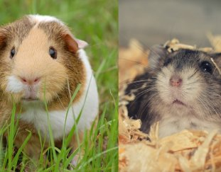 hamster-vs-guinea-pig-which-pet-is-the-best-for-me