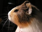 How Long Do Guinea Pigs Live For