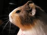 How Long Do Guinea Pigs Live For