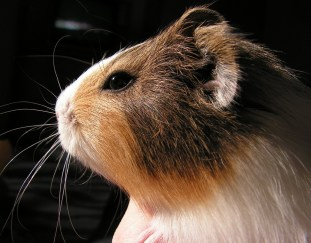 how-long-do-guinea-pigs-live
