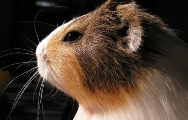 how-long-do-guinea-pigs-live