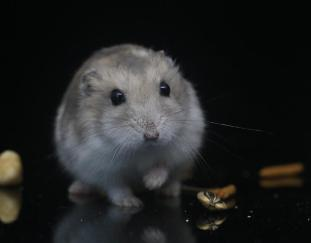 when-hamsters-attack