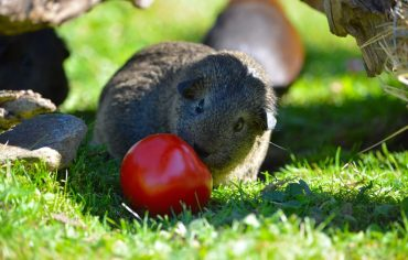 what-fruit-can-guinea-pigs-eat
