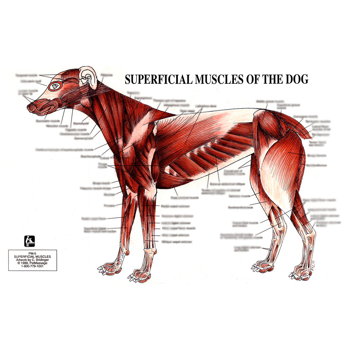 Petmassage Chart 5 Superficial Muscles Of The Dog Petmassage