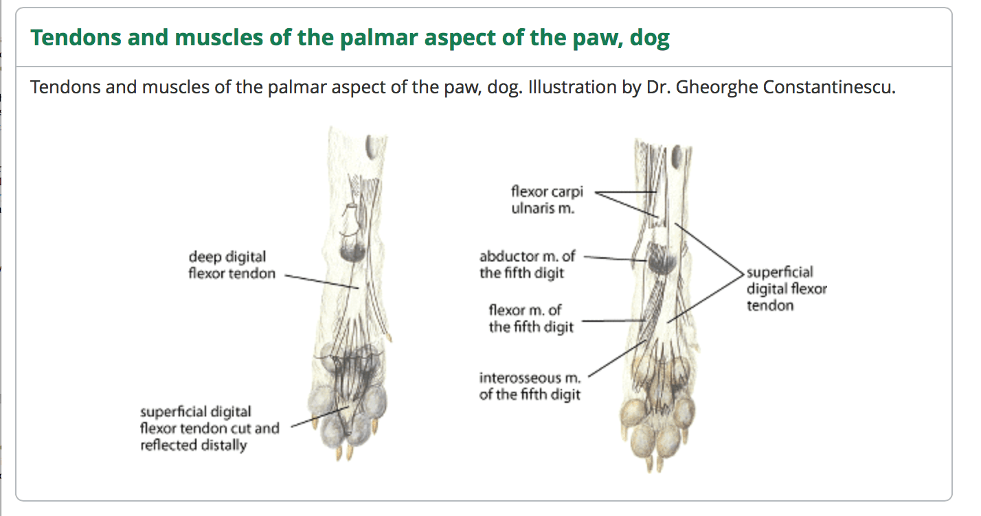 Diagram Of Tendons And Ligaments In Dog Data Wiring Diagrams