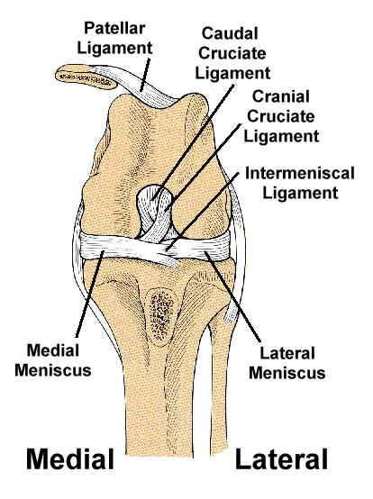 Cruicate Ligaments Petmassage Training And Research Institute