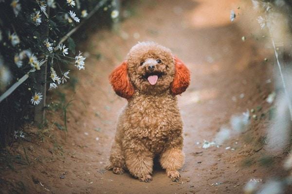 Chó Poodle - Nguồn gốc, cách nuôi, giá bán 2021 Một giống chó thông minh bậc nhất thế giới