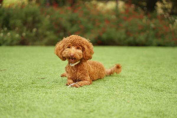 Chó Poodle - Nguồn gốc, cách nuôi, giá bán 2021 Vui chơi cùng Poodle