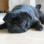 犬と猫のダニとノミの予防・駆除にフロントライン スプレー