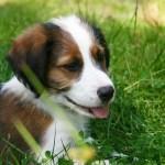 犬の脱毛症の原因と治療
