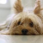 犬のアトピー性皮膚炎について