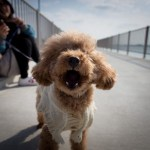 犬用涙やけ防止パウダーで涙やけを防ぐ方法について