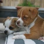 子犬がかかりやすい病気と対処法