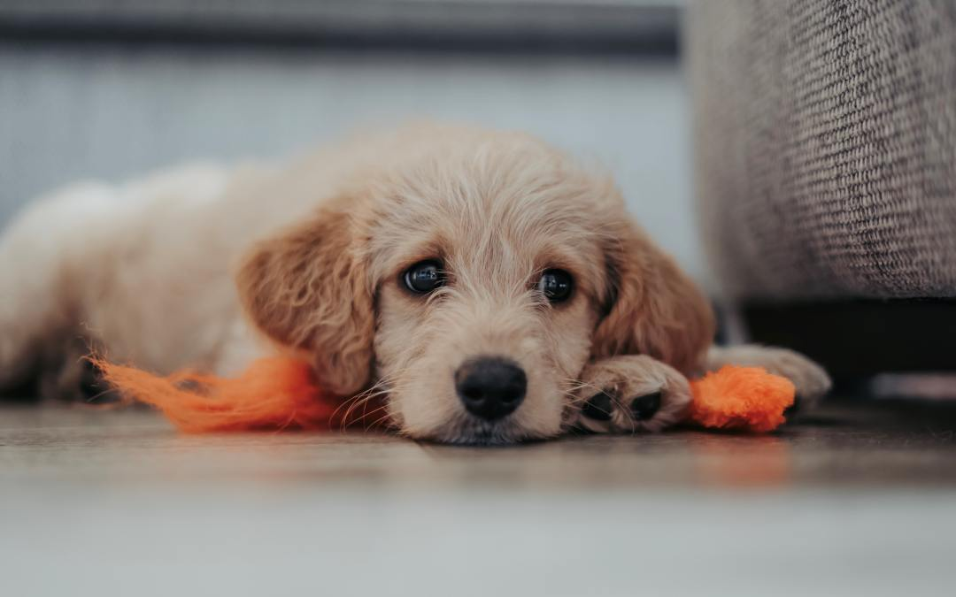 Top Tips & Resources for Helping Your Dog Settle into a New Home
