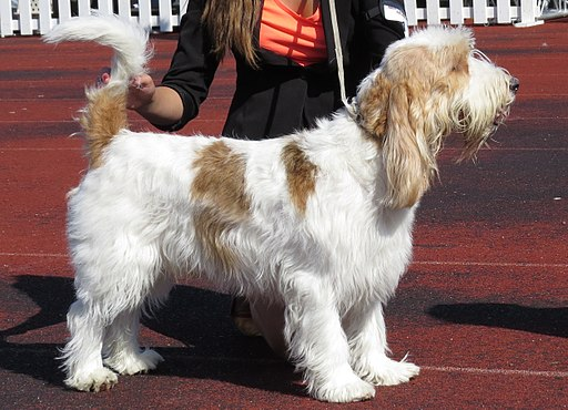 The Grand Basset Griffon Vendéen from France was recognized as a Hound breed dog by the American Kennel Club in 2018