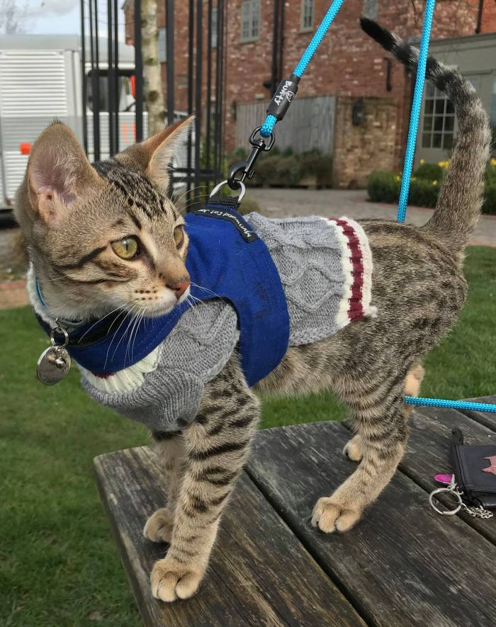 In cooler weather, your kitty can still enjoy a walk wearing its harness over a sweater