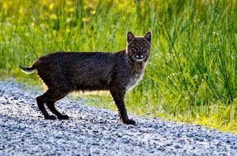Bobcats are carnivores, shown here hunting for prey. Photo courtesy of US Fish & Wildlife Service South East Region